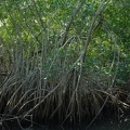 The mangroves get thicker and thicker